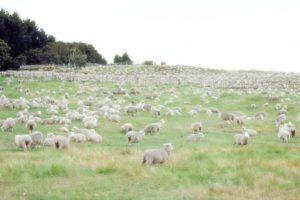 """Pomaže li """"brojati ovce"""" da brže zaspimo"""