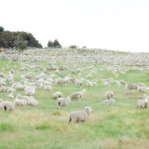 Pomaže li brojati ovce da brže zaspimo
